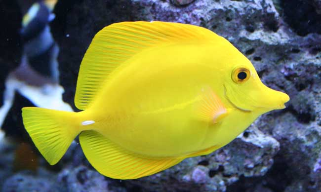 Marine boutique web site tangs for Yellow tang fish